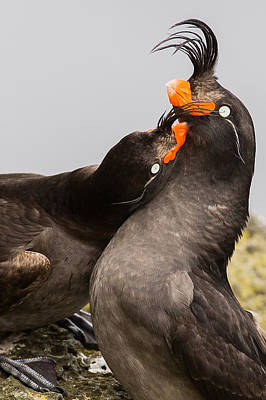 Auklets Photograph - Crested Auklets by Sunil Gopalan
