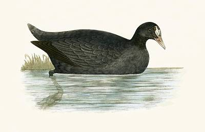 Crested Coot Print by English School