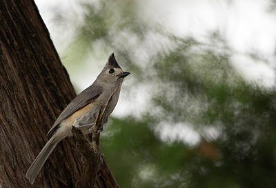 Texas Photograph - Crested Titmouse by Bob Marquis