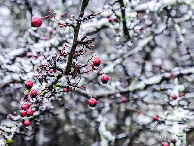 Lichen-covered Fence Photograph - Crimson Berries In Winter by Lexa Harpell