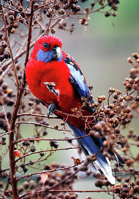 Royal Australian Navy Photograph - Crimson Rosella by Nicholas Blackwell