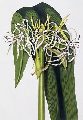 Lilies Drawing - Crinum Declinatum by Priscilla Susan Bury