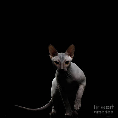 Crouching Sphynx Cat On Black  Print by Sergey Taran