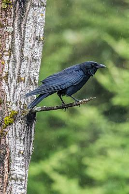 American Crow Photograph - Crow In The Rain by Paul Freidlund