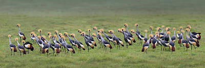 Flock Of Bird Photograph - Crowned Crane Balearica Regulorum by Panoramic Images