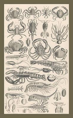 Horseshoe Crab Drawing - Crustacea by Captn Brown