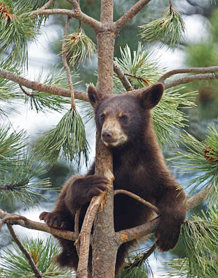 Bear Mixed Media - Cub In Tree Dry Brushed by Ernie Echols
