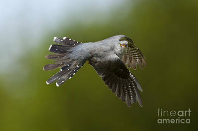 Cuckoo Flying Print by Steen Drozd Lund