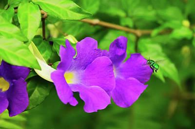 Cuckoo Digital Art - Cuckoo Wasp Darting Into Purple Flower by Artful Imagery