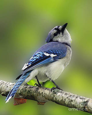 Shelley Myke Photograph - Curious Blue Jay by Inspired Nature Photography Fine Art Photography