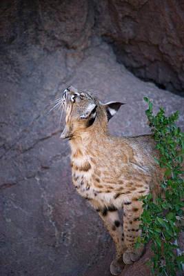 Curious Bobcat - Asdm Tucson Arizona Print by Randall Ingalls