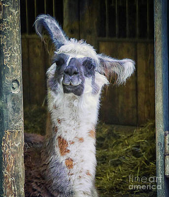 Llama Digital Art - Curious by Jutta Maria Pusl