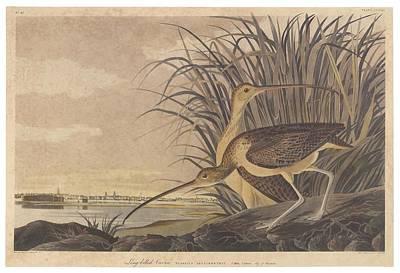 Feeding Drawing - Curlew by John James Audubon