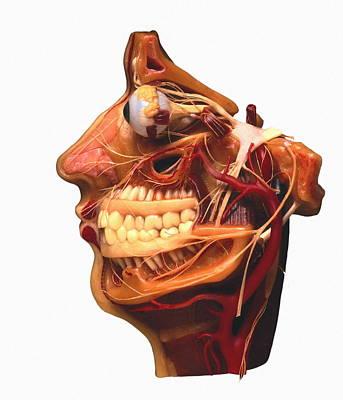 Cutaway Model Of Face Print by Victor De Schwanberg