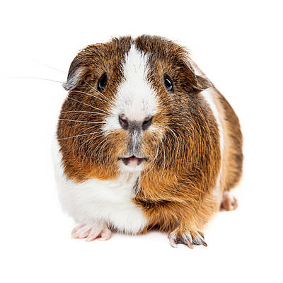 Cute Guinea Pig Looking Forward Print by Susan Schmitz