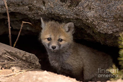 Fox Photograph - Cute Kit by Natural Focal Point Photography