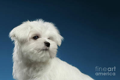 Cute Pure White Maltese Puppy Curiously Looking Isolated On Blue Background Print by Sergey Taran