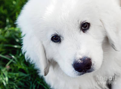 Friend Photograph - Cute White Puppy Dog Portrait. Polish Tatra Sheepdog by Michal Bednarek