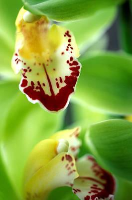 Kathy Yates Photograph - Cymbidium Seafoam Emerald Orchid by Kathy Yates