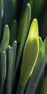 Daffodil Bud, First Sign Of Spring Print by Garry McMichael