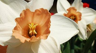 Amature Photograph - Daffodils In The Sun by Bruce Bley