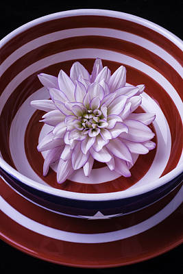 Dahlia In Red And White Bowl Print by Garry Gay