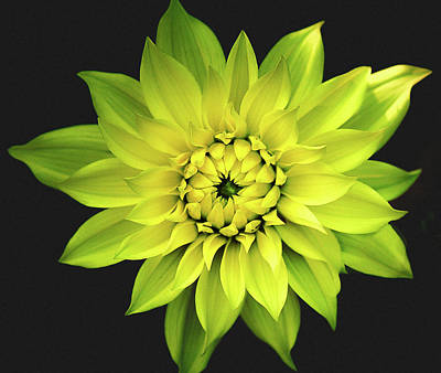 Dahlia In Yellow Print by Julie Palencia