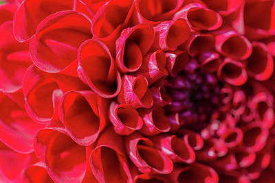Triangle Photograph - Dahlia Study 3 by Scott Campbell