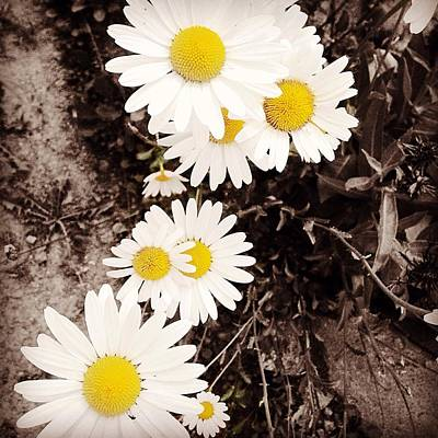 Photograph - Daisies  by Crystal Magee