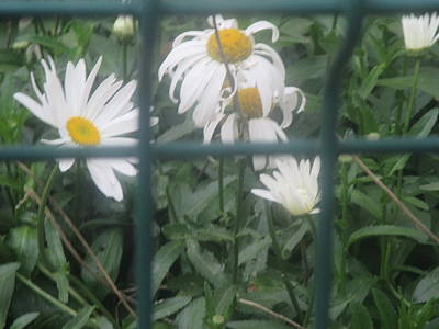 Daisies Photograph - Daisies Seen Through An Iron Fence by Anamarija Marinovic
