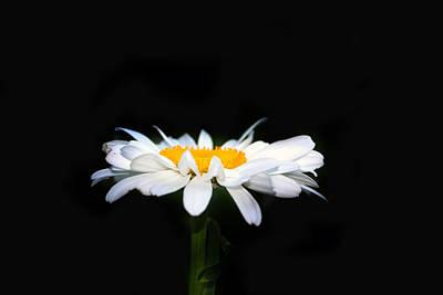 Floral Photograph - Daisy by Debbie Nobile