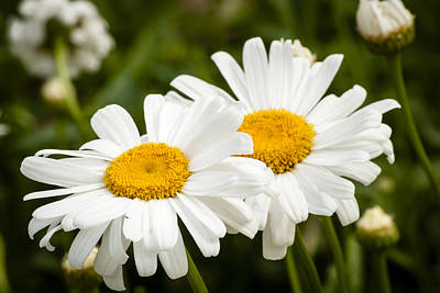 Positivity Photograph - Daisy Duo by Christi Kraft