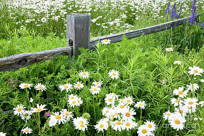 Maine Meadow Photograph - Daisy Fence by Susan Cole Kelly