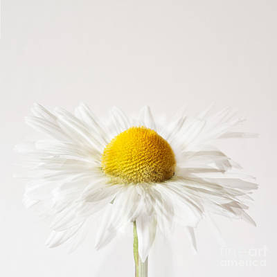 White Flower Photograph - Daisy Impression by Janet Burdon