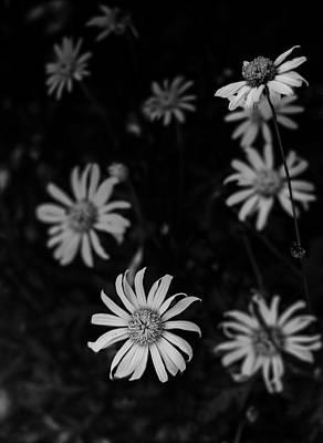 Daisy  Print by Mario Celzner