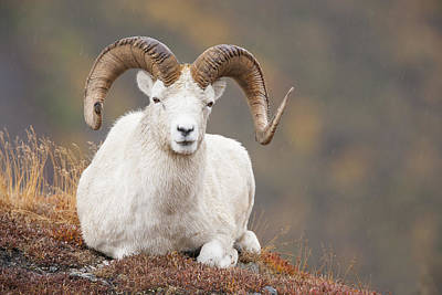 Ledge Photograph - Dall Sheep Ram by Tim Grams