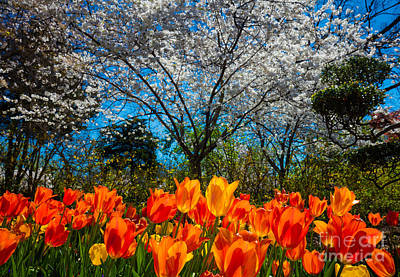 Dallas Arboretum Tulips And Cherries Print by Inge Johnsson