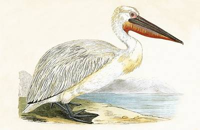 Pelican Drawing - Dalmatian Pelican by English School