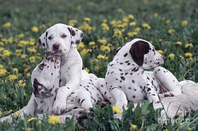 Dalmatian Puppies Playing In Flowers Print by Alan Carey