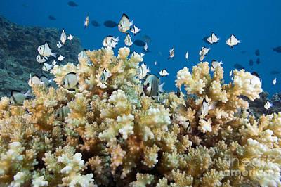 Damselfish Among Coral Print by Dave Fleetham - Printscapes