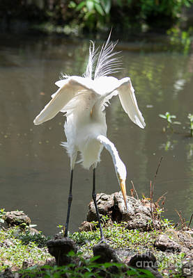 Dance Moves-white Heron Print by Alicia Collins