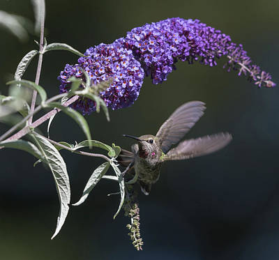 Butterfly In Flight Photograph - Dancing In The Butterfly Bush by Angie Vogel