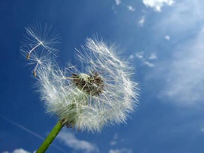 Dandelion Photograph - Dandelion And Blue Sky by Matthias Hauser