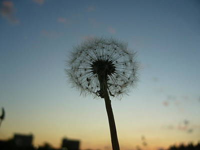 Photograph - Dandelion by Gonca Yengin