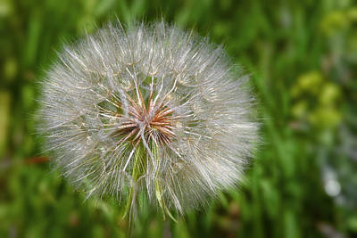 Weeds Photograph - Dandelion Puff - The Summer Queen by Christine Till