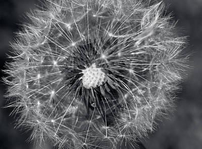 Dandelion Seed Head Monochrome Print by Lise-Lotte Larsson