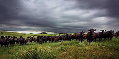 Prairie Storm Photograph - Dark Angus by Thomas Zimmerman