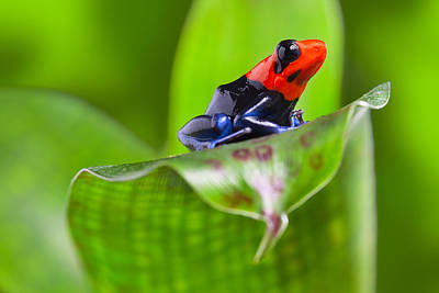 Frogs Photograph - Dart Frog by Dirk Ercken