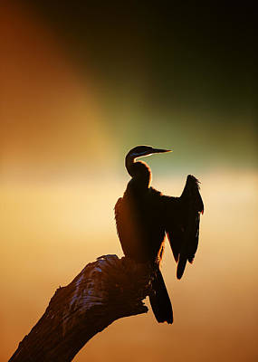 Golden Light Photograph - Darter Bird With Misty Sunrise by Johan Swanepoel