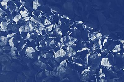 Garden Photograph - Dead Bougainvillea Flowers. Cyanotype Digital Art by Angelo DeVal